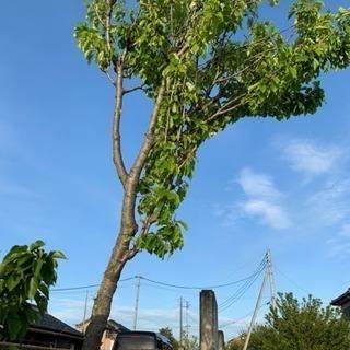 さくらんぼの木(2mとちょっと)