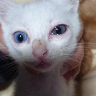 【再掲載】白猫 ♂ オッドアイ 4週間目キャンセルされました