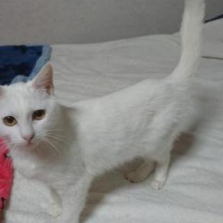 白猫苗ちゃん(エイズキャリア)