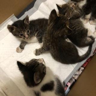 生後1ヶ月子猫あと3匹の里親募集!