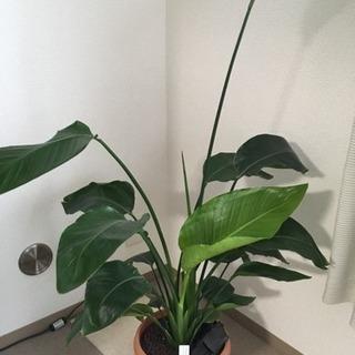 観葉植物 ストレリチア  オーガスタ