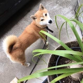 2歳半の柴犬の里親さんになってくれる方募集
