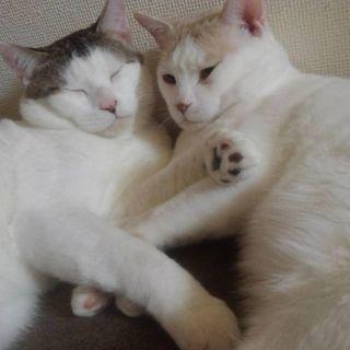 1歳の♂猫2匹(去勢済み)/里親募集中