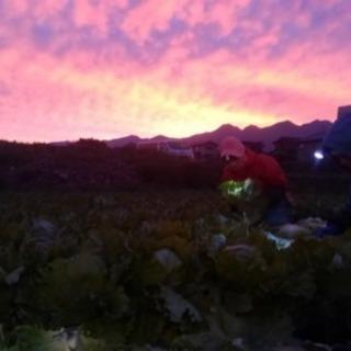【シフト選べます】レタスの栽培と収穫【主婦 wワーク 未経験大歓迎】