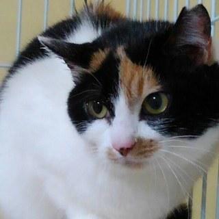 美猫 三毛さくらさん 4才