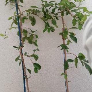 アセロラ 苗木