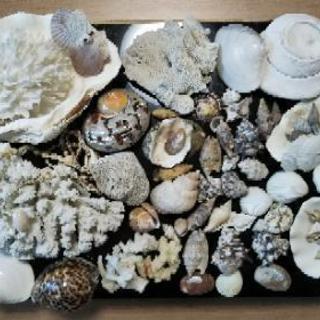 珊瑚&貝殻(値下げしました)