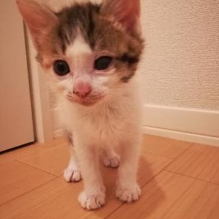 🐱1ヶ月三毛猫♀里親様決定しました。