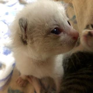 白猫ちゃんのご家族になってくれる方