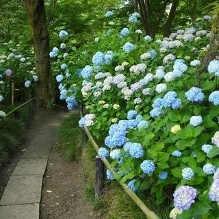 【6月30日(日)】矢田丘陵でアジサイ祭り〜!