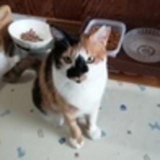 つぶらな瞳 大人しくて飼いやすい三毛猫 2歳くらい