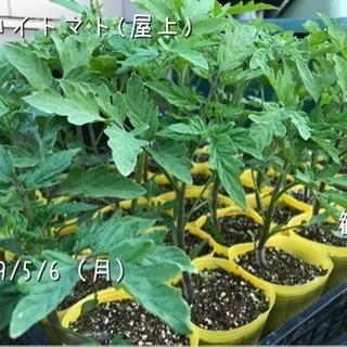 トマト/アロイトマトの苗、あげます