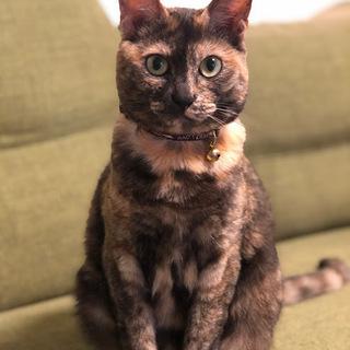 性格花マル!とっても飼いやすい人慣れ・猫慣れした猫です。里親様を募...