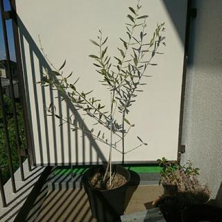 オリーブの木 鉢植え