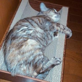 【里親募集】おとなしく穏やかな11歳の女の子 - 猫