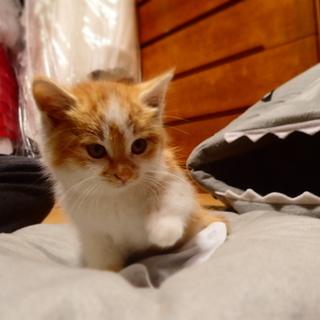 将来は美猫!茶トラ白。おろらく長毛種、オス