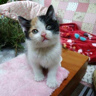 【生後1ヶ月程】三毛の雌猫