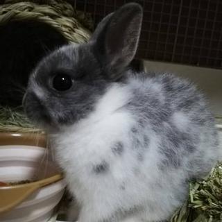 ウサギ、ネザーランドトワーフ生後4ヶ月血統書付き