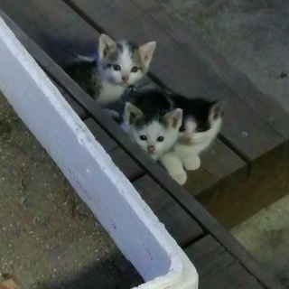 生後約1ヶ月の子猫3匹どなたか里親になっていただけませんか