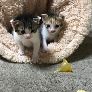 (交渉中)4月生まれの子猫2匹(オス、メス)を飼ってくれる方探し...