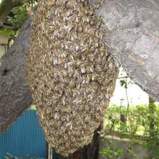 蜂の巣駆除承ります!
