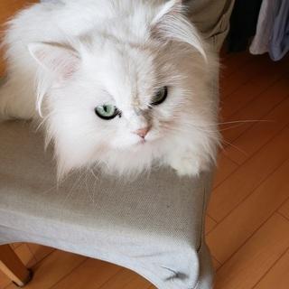 白のかわいいペルシャです