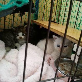 生後2ヶ月くらいのオス子猫一匹 − 長崎県