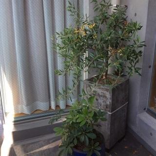無料 オリーブの樹 鉢付き