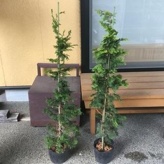 値下げ‼️植木   金チャボヒバとチャボヒバ