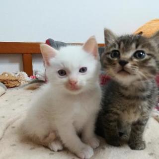 子猫2匹の里親さがしています。