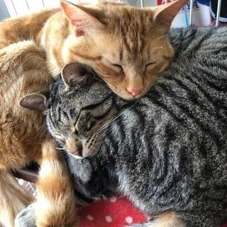 サバトラ、茶トラの兄弟猫(推定3歳)