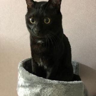 急募!!3歳3ヶ月の元気な黒猫の里親募集🐈🐈の画像