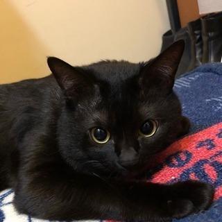 急募!!3歳3ヶ月の元気な黒猫の里親募集🐈🐈 - 猫