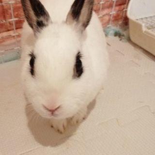 2歳のミニウサギの女の子