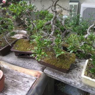 さつき 植木 植木鉢 皐月 五月