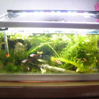 熱帯魚グッピー類(20匹以上)