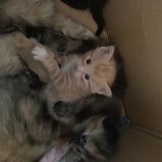 親猫、仔猫2匹。飼って下さる方!至急。(只今話合い中 - 伊達郡