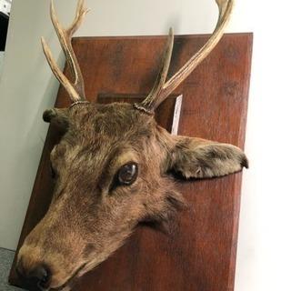 鹿の剥製 ハンティングトロフィー