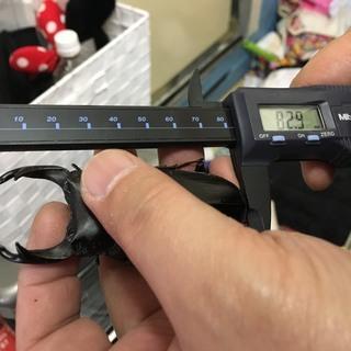 ☆北海道産オオクワガタ初2齢幼虫5頭セット(種親80㎜オーバー使用)☆