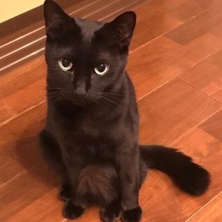 黒猫♂とハチワレ♂の仲良し1才コンビ - 新座市