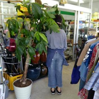 180センチくらいのパキラ 観葉植物