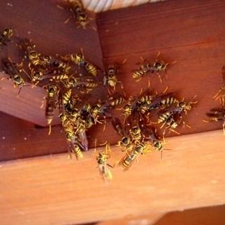 ★蜂の巣駆除、害虫駆除、害鳥駆除ならお任せ下さい!★最短、即日見...