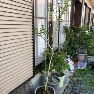 サルスベリの木