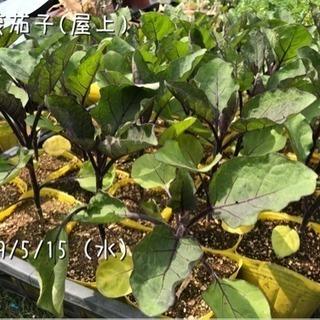 野菜苗あげます■ナス/賀茂茄子■ミニトマト/ステラミニトマト