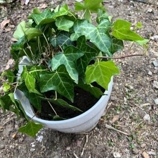 へデラ(観葉植物)