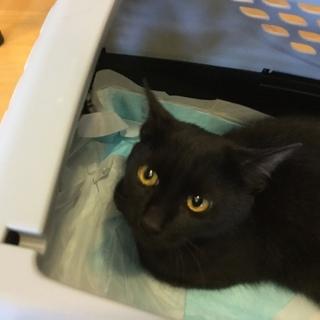 里親様決まりました。だっこできる黒猫ちゃん。の画像