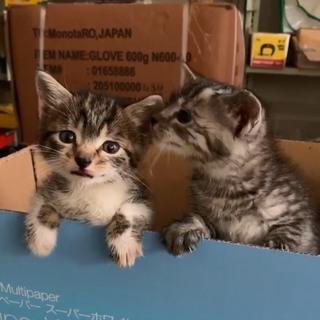 アメリカンショートヘア風仔猫の里親さん募集しています。