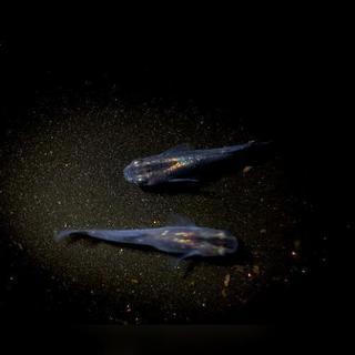 固定化中のオリジナル黒青系メダカの有精卵10+α又は稚魚5+1