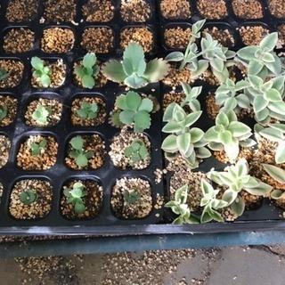 多肉植物   ベビーサンローズ、子宝草