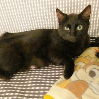 推定2歳くらい★とても優しい美しい黒猫ちゃん女の子。